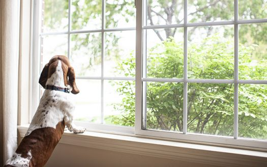 Basset hound dog staring out the window waiting at home